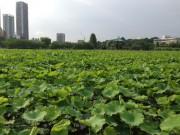 上野公園・不忍池がハスの葉で覆い尽くされる-ハス観察ゾーンも完成