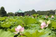 上野公園・不忍池のハスの花が見頃に-8月中旬まで