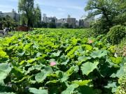 上野公園・不忍池のハスが見頃に 早朝から鑑賞者でにぎわう