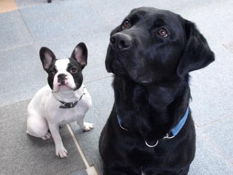 ラブラドールレトリバーのクロロ先生(写真右)とフレンチブルドッグのムンク先生(同左)