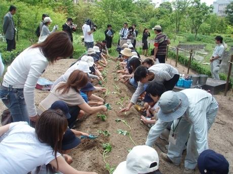 保護者と一緒にサツマイモの苗を植えつける園児たち
