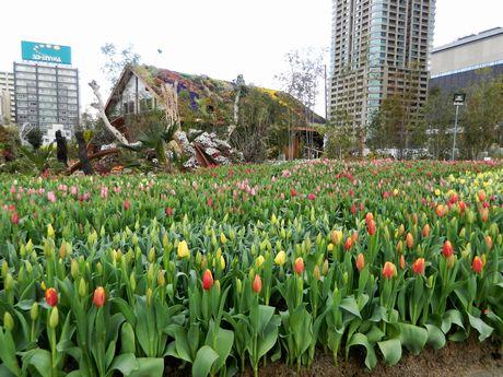 梅田で「真冬のチューリップ祭」 2万本が春先取り