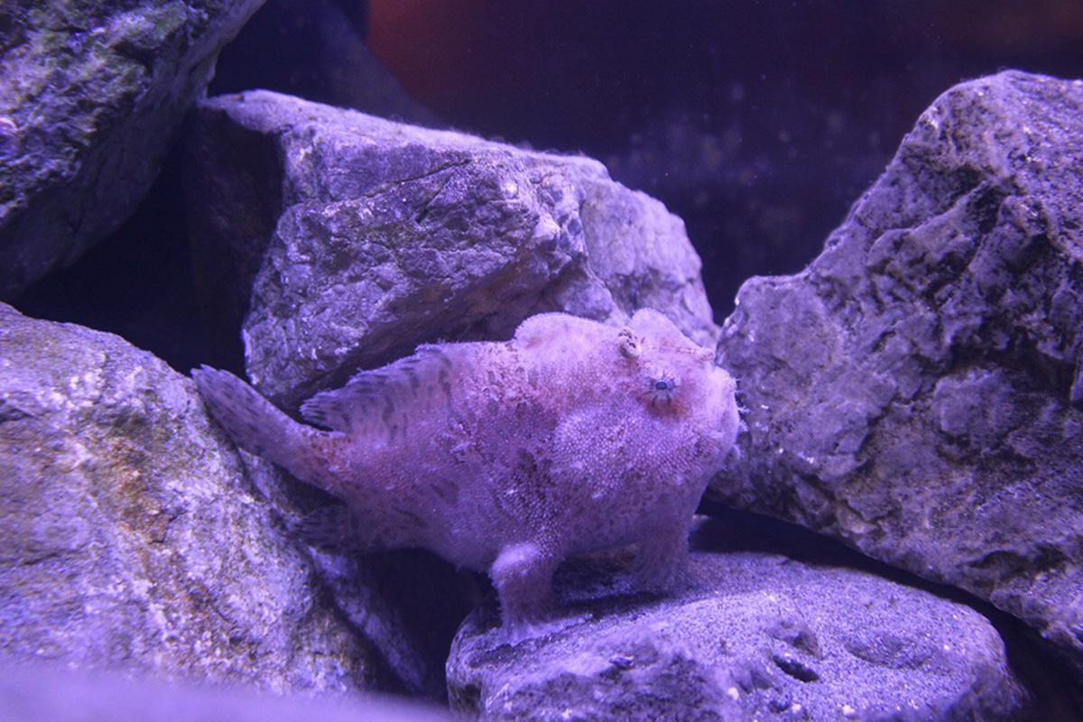 浜名湖に住むヘンな生き物「カエルアンコウ」