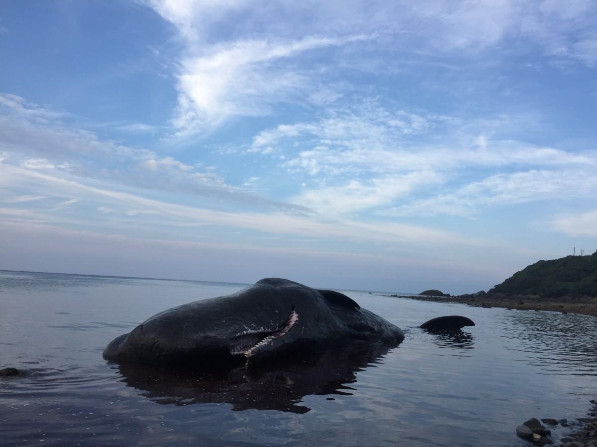 漂着したマッコウクジラは傷もなく黒々