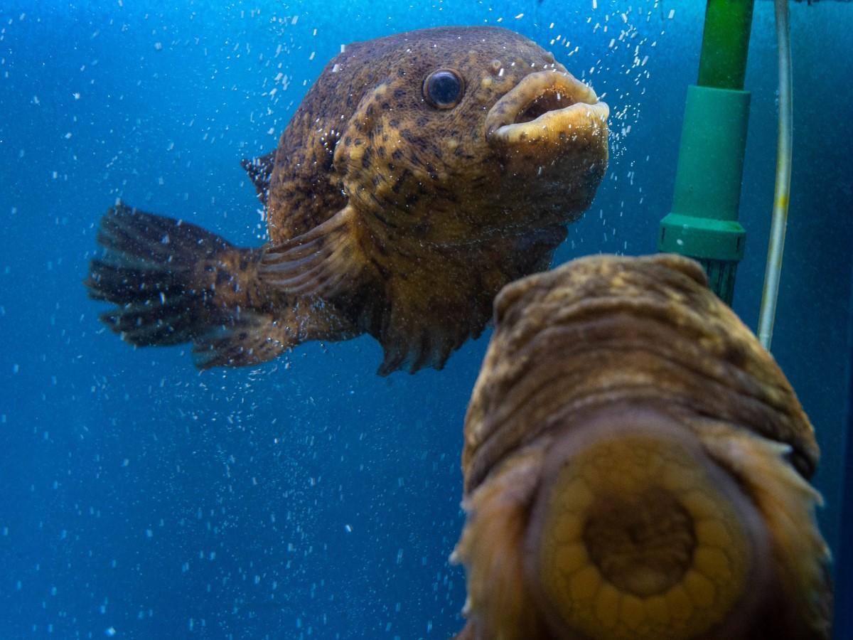 ゴッコ(ホテイウオ)の泳ぐ姿が間近に見られる
