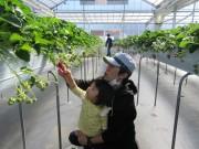 桜区の障がい者支援施設が「いちご農園」 イチゴ狩りと直売に喜びの声も