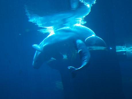 バンクーバー水族館で20歳の母親オーロラがメスの赤ちゃんを無事に出産した。撮影・提供:Vancouver Aquarium