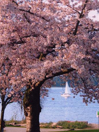 「バンクーバー桜祭り」が3月26日~4月22日、市内各所で開催