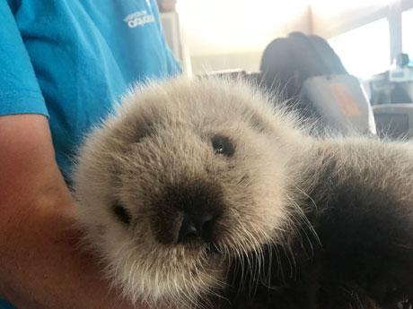 バンクーバー水族館がラッコの赤ちゃんを保護 発見時の適切な対応