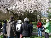 バンクーバーで「桜祭り」 ジャパンフェアや夜桜見物、コンサートなど