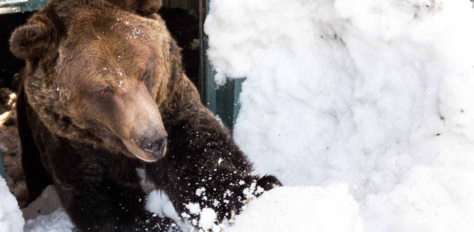 冬眠から目覚めたクーラ (Photo=Grouse Mountain Wildlife Refuge)
