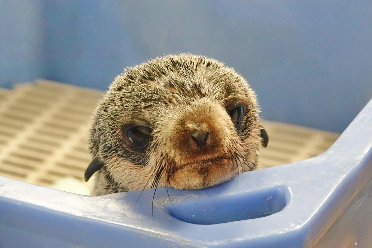 保護されたオットセイの赤ちゃん(写真提供=バンクーバー水族館)