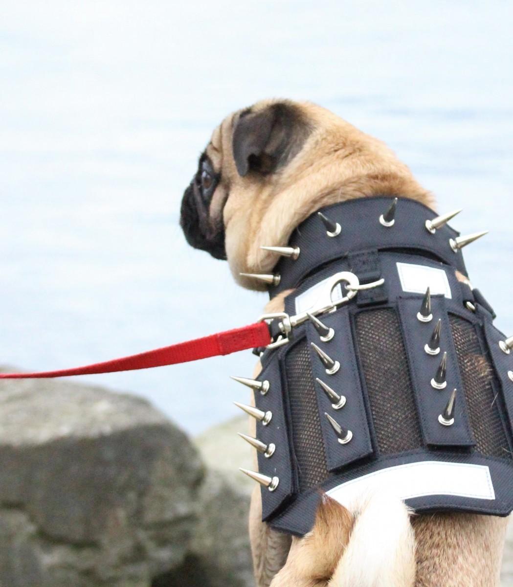 バンクーバーの女性2人が開発、販売する犬用の鋲付ハーネス「PredatorBWear」