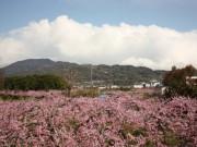 和歌山・桃源郷のモモの花が満開に-恒例の「桃山まつり」も開催
