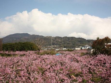 モモの花が満開となった桃山町の桃源郷