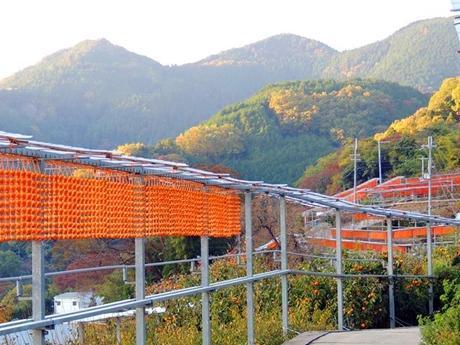 四郷の平地区で串柿が干されている風景