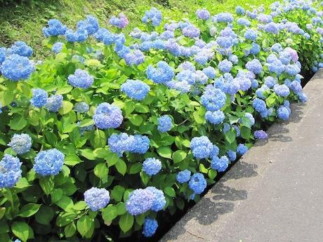 約3000本が咲き誇るアジサイロード