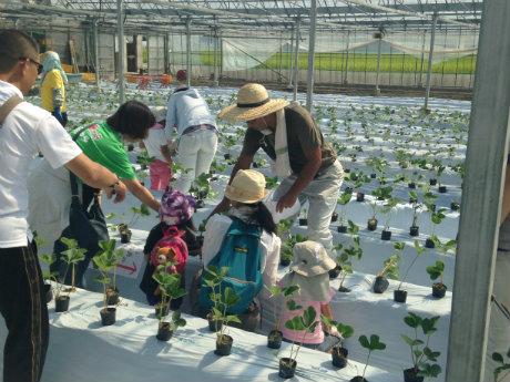 イチゴ苗の植え込む様子
