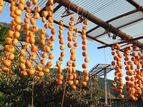 秋の風物詩・串柿を干す様子