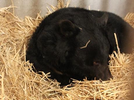 ワラを敷いた寝室で眠るベニー(今年の冬眠の様子)
