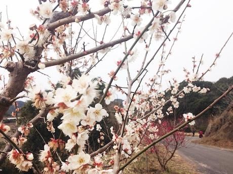 梅の花が咲き始めた岩代大梅林