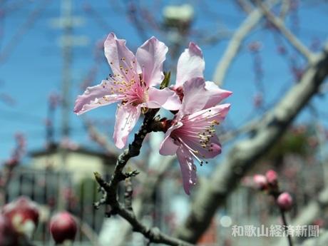 紀の川市のモモ農家の畑で開花した早生品種「はなよめ」