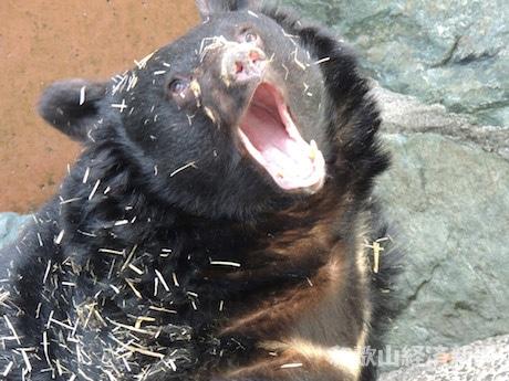 大きなあくびをするベニー