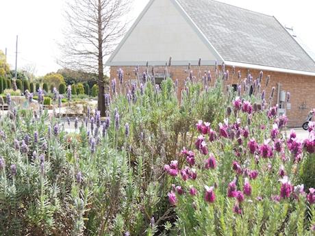 見頃を迎えたキューレッドラベンダー(右)のほか10種類以上のラベンダーが植えられている