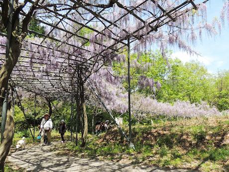 中咲きのフジが見頃を迎える藤棚ロード