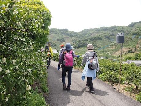 ミカンの花の香りを楽しみながら歩く参加者たち