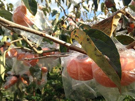 収穫前にビニール袋をかぶせられた紀の川柿