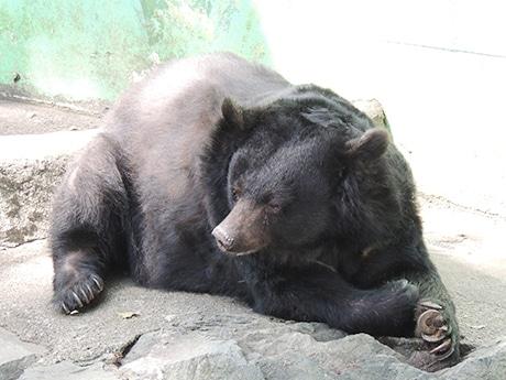 今年もまもなく冬眠に入るツキノワグマのベニー