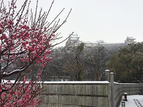 例年より10日以上早く開花した紅梅にも雪が積もった