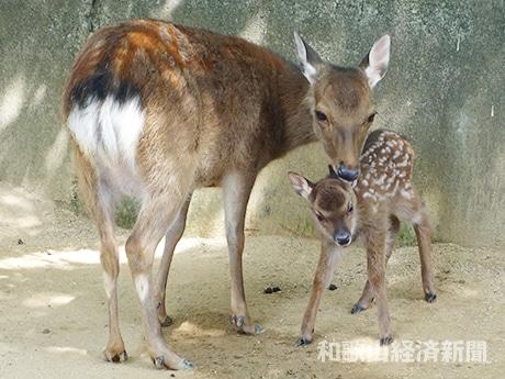白い斑点模様が特徴のニホンジカの赤ちゃん