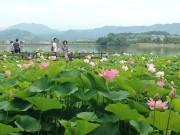 和歌山・平池緑地公園で大賀ハス観蓮会 野だてや「象鼻杯」体験も