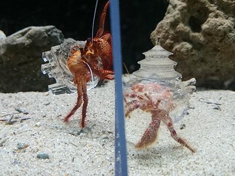 和歌山・京都大学白浜水族館に透明な「やど」のヤドカリ 3Dプリンター製「やど」に熱視線