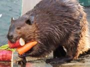 和歌山公園動物園で「市民ZOOフェスティバル」 野菜を抱えたビーバーに歓声