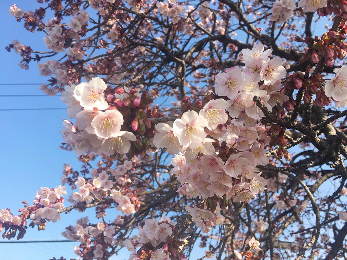 色が濃く、花が下向きに開くのが特徴の和歌山市中之島の早咲き桜