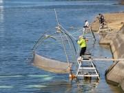 和歌山・湯浅で「シロウオまつり」 復活した伝統漁の披露も