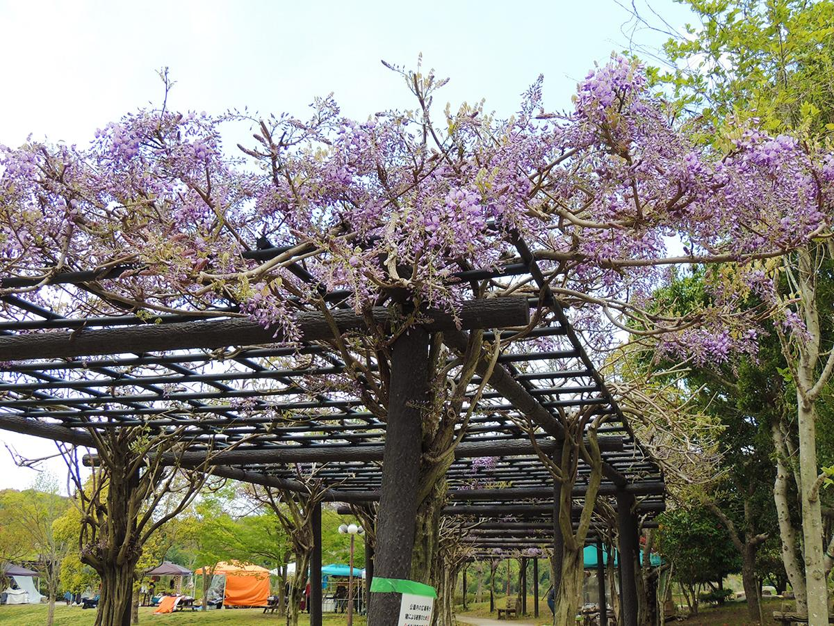 四季の郷公園中央の多目的広場にある藤棚で咲き始めたフジ