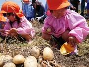 和歌山で園児が新ジャガ収穫 保護者も一緒に食育
