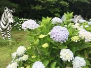 和歌山・森林公園のアジサイが見頃 住民らが5000株を植樹