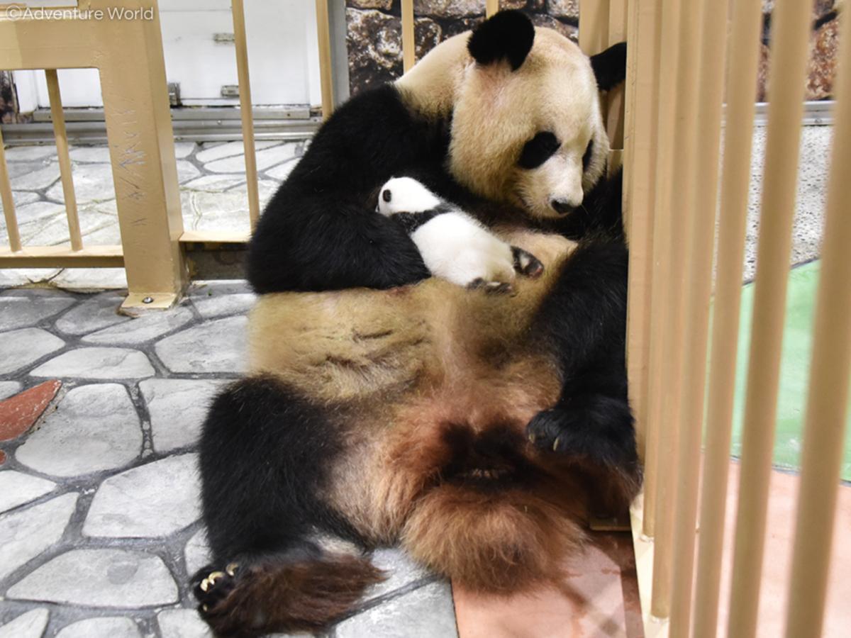 良浜に抱かれる赤ちゃんパンダ(9月23日撮影)