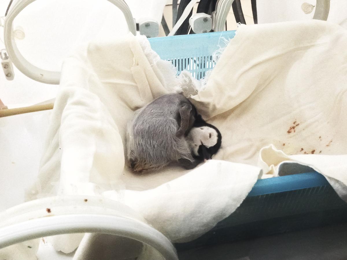 保育器で眠るエンペラーペンギンの赤ちゃん(10月11日撮影)