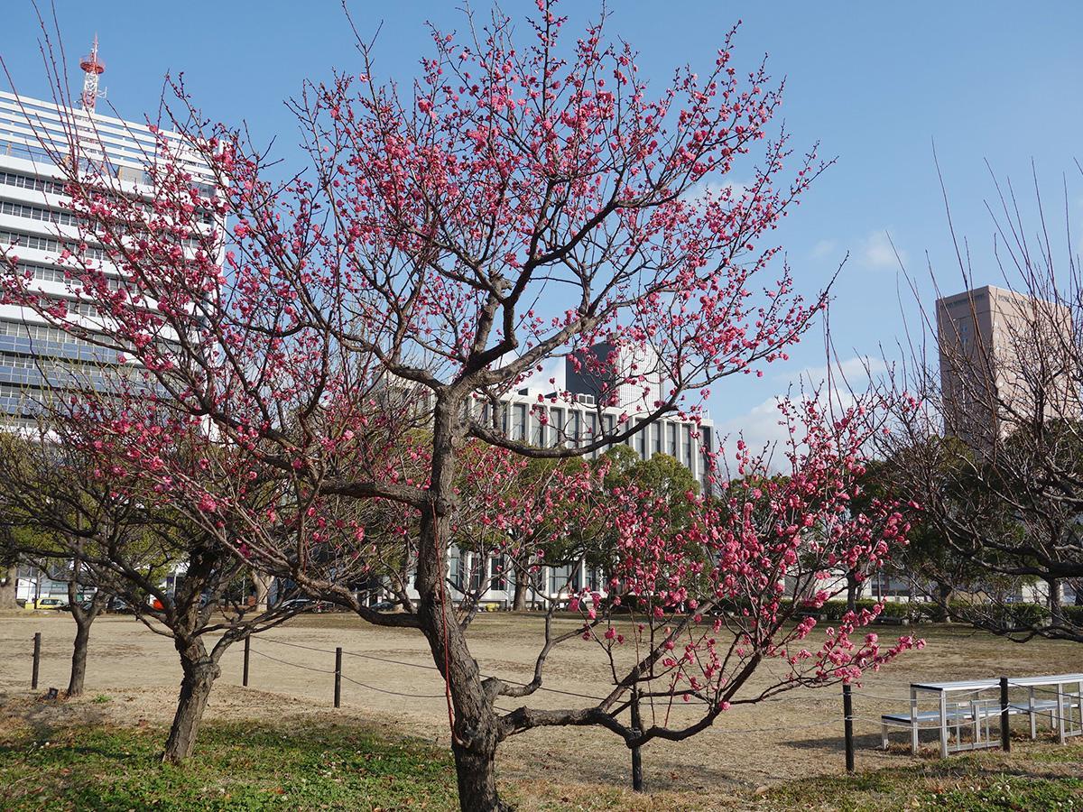 見頃を迎えた和歌山城西の丸広場の紅梅