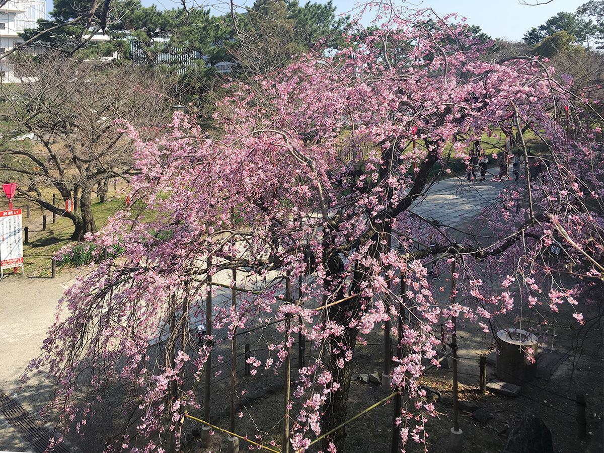 見頃を迎えた一の橋近くのしだれ桜