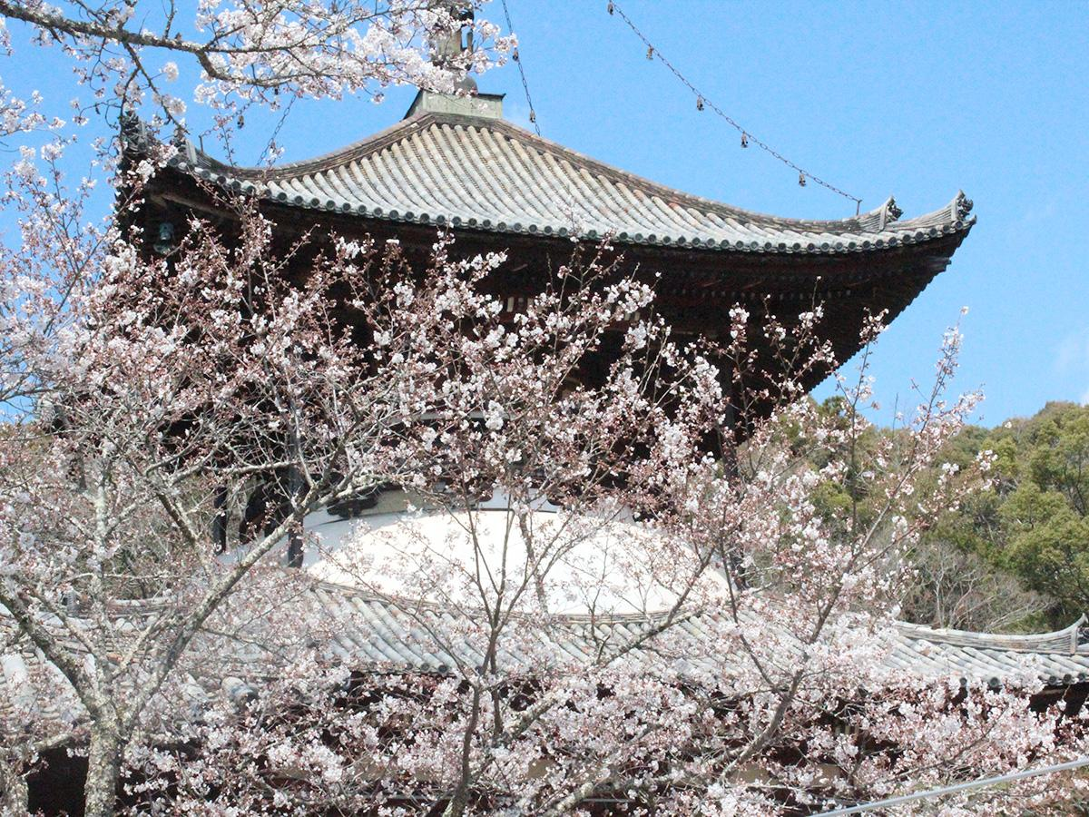 根来寺の大塔と桜
