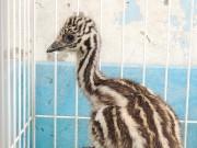 和歌山城公園動物園でエミューのひな特別公開 3カ月限定のしま模様に歓声