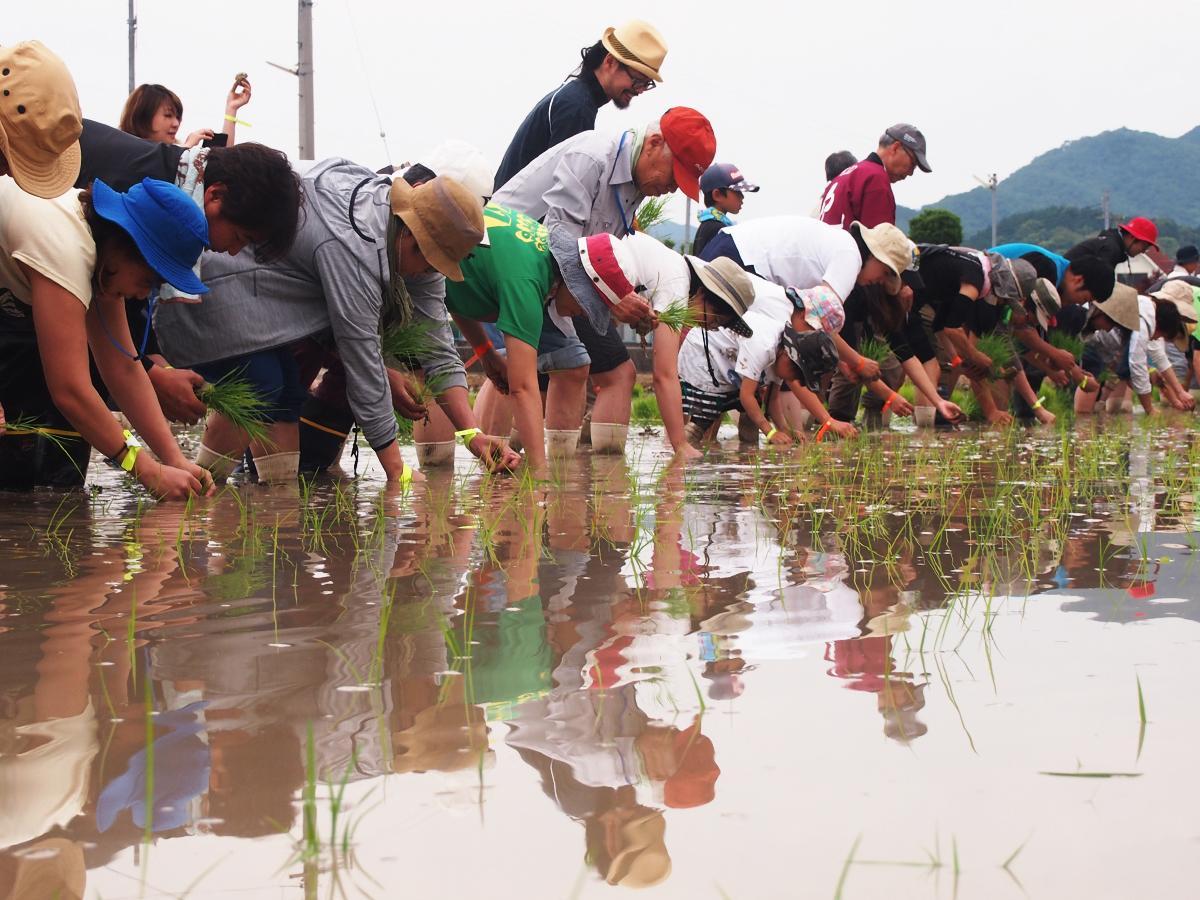 酒米「山田錦」の苗を植える参加者たち