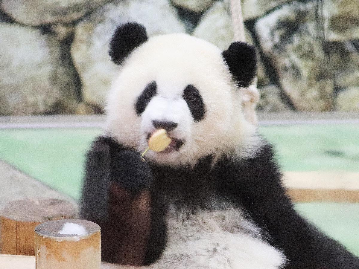 1歳の誕生日を迎えたパンダの「彩浜(さいひん)」